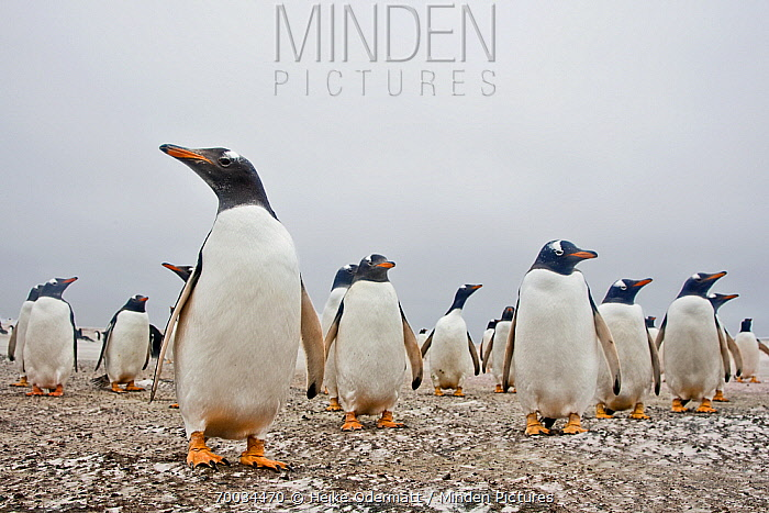Gentoo Penguin (Pygoscelis papua) group on beach, Falkland Islands  -  Heike Odermatt
