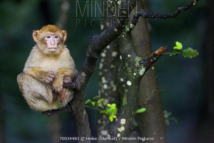 Barbary Macaque (Macaca sylvanus) baby sitting in a tree, Salem, Lake Constance, Germany  -  Heike Odermatt