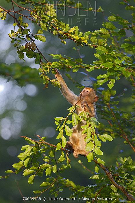 Barbary Macaque (Macaca sylvanus) juvenile feeding in a tree, Salem, Lake Constance, Germany  -  Heike Odermatt
