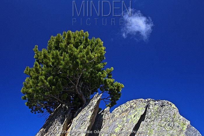 Mountain Pine (Pinus mugo) on a rock, Bernese Alps, Valais, Switzerland  -  Heike Odermatt