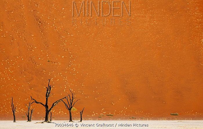 Acacia (Acacia sp) tree snags, Dead Vlei, Namib-Naukluft National Park, Namib Desert, Namibia  -  Vincent Grafhorst