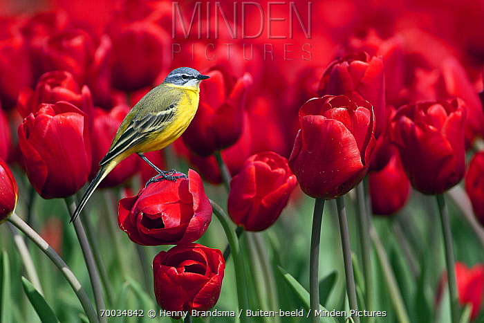Blue-headed Wagtail (Motacilla flava) perched on a red tulip, Friesland, Netherlands  -  Henny Brandsma/ Buiten-beeld