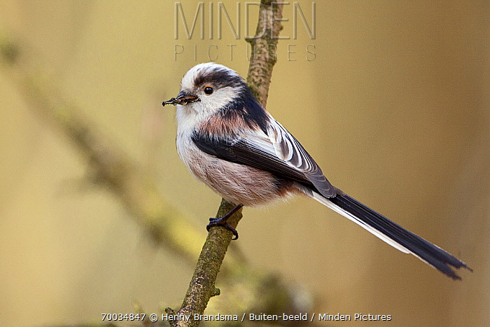 Long-tailed Tit (Aegithalos caudatus) carrying food in bill, Friesland, Netherlands  -  Henny Brandsma/ Buiten-beeld