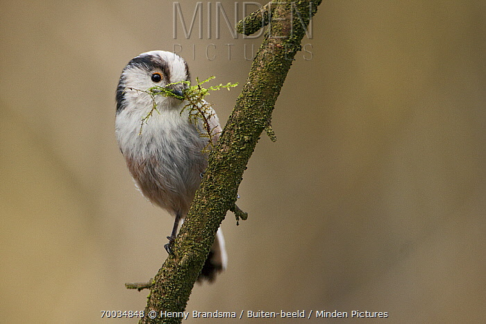 Long-tailed Tit (Aegithalos caudatus) perched on a branch with nesting material in its bill, Friesland, Netherlands  -  Henny Brandsma/ Buiten-beeld