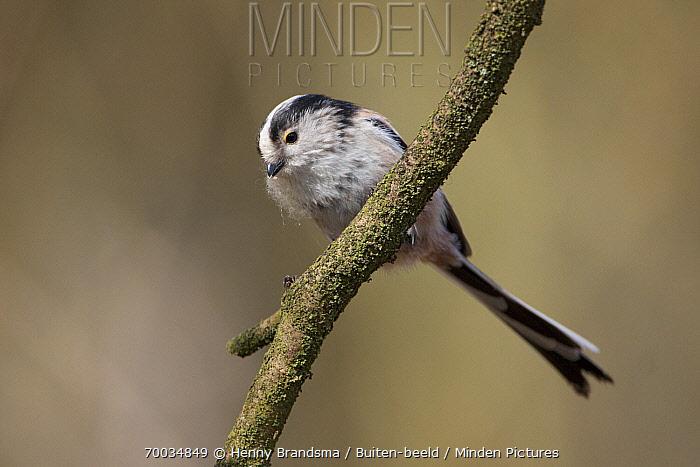 Long-tailed Tit (Aegithalos caudatus), Friesland, Netherlands  -  Henny Brandsma/ Buiten-beeld