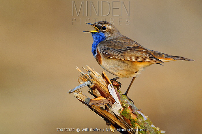 Bluethroat (Luscinia svecica) singing, Lower Saxony, Germany  -  Willi Rolfes/ NIS