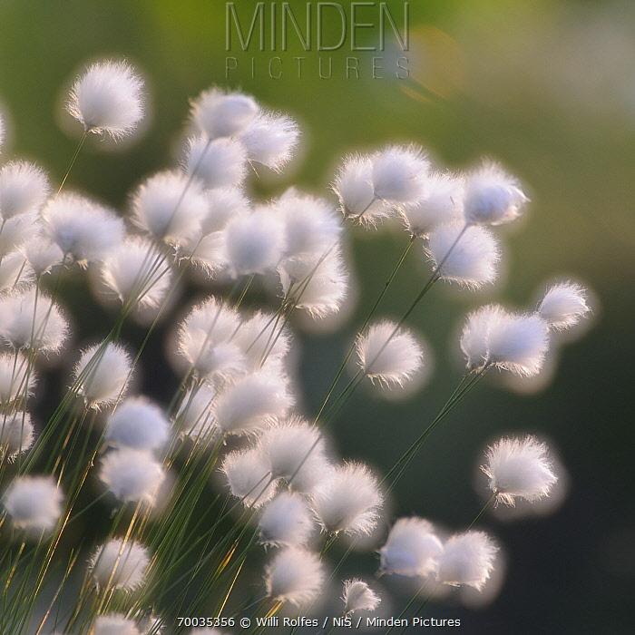Hare's-tail Cottongrass (Eriophorum vaginatum)  -  Willi Rolfes/ NIS