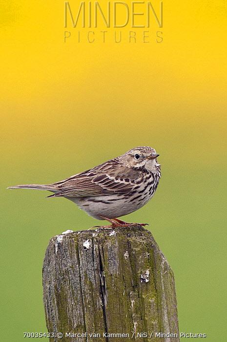 Meadow Pipit (Anthus pratensis), Friesland, Netherlands  -  Marcel van Kammen/ NiS