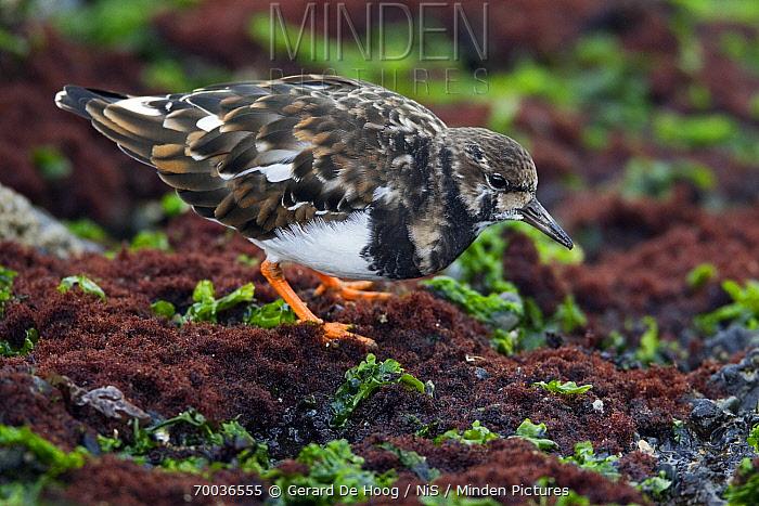 Ruddy Turnstone (Arenaria interpres) foraging on seaweed, Netherlands  -  Gerard de Hoog/ NiS