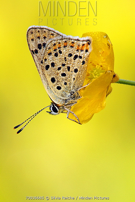 Sooty Copper (Lycaena tityrus) butterfly on yellow flower, Lauterbach, Black Forest, Germany  -  Silvia Reiche