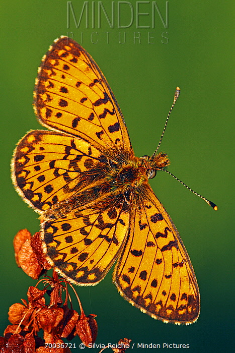 Small Pearl-bordered Fritillary (Boloria selene) butterfly on flower, Austria  -  Silvia Reiche