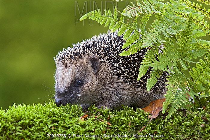 Brown-breasted Hedgehog (Erinaceus europaeus) behind a fern, Netherlands  -  Ernst Dirksen/ Buiten-beeld