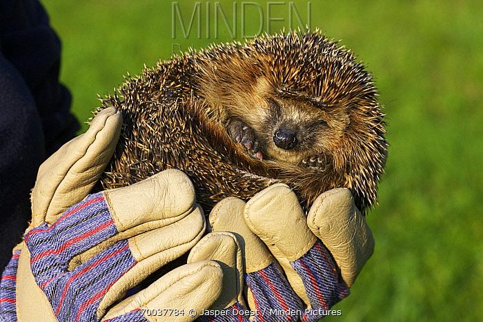 Brown-breasted Hedgehog (Erinaceus europaeus) being held, Czech Republic  -  Jasper Doest