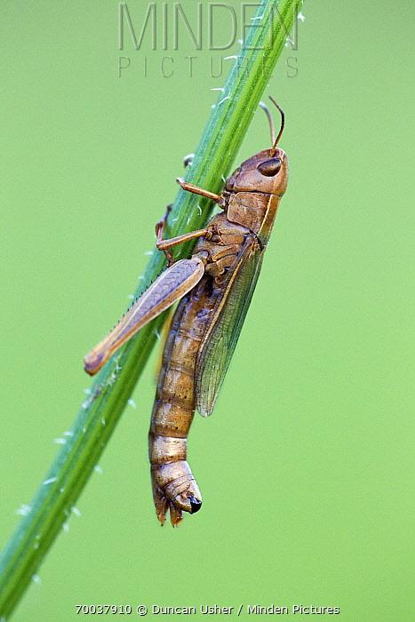 Meadow Grasshopper (Chorthippus parallelus) resting on grass stalk, Lower Saxony, Germany  -  Duncan Usher