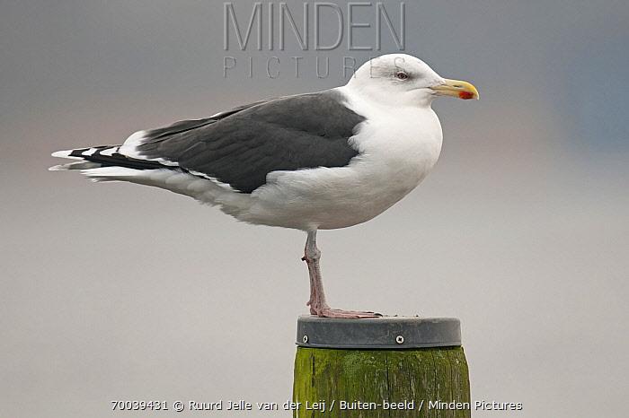 Great Black-backed Gull (Larus marinus), Grou, Friesland, Netherlands  -  Ruurd Jelle van der Leij/ Buiten-beeld