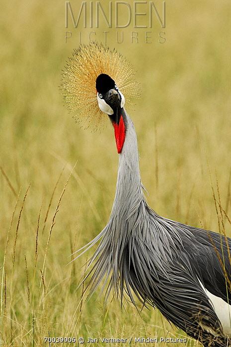 Grey Crowned Crane (Balearica regulorum), Uganda  -  Jan Vermeer