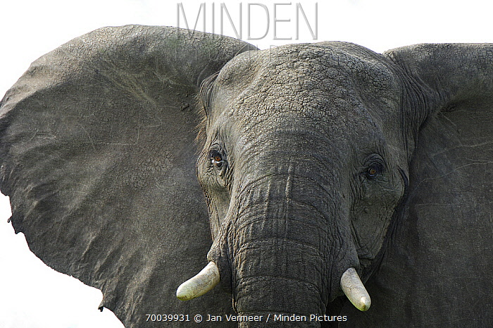 African Elephant (Loxodonta africana), Uganda  -  Jan Vermeer