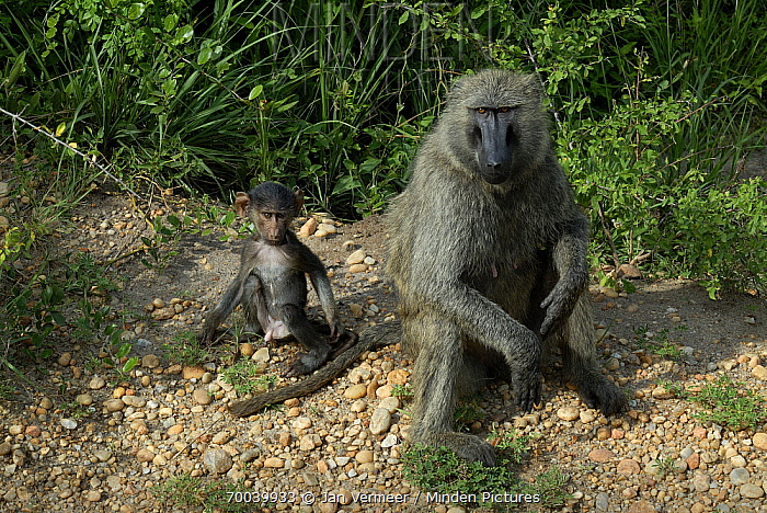 Olive Baboon (Papio anubis) adult and juvenile male, Uganda  -  Jan Vermeer