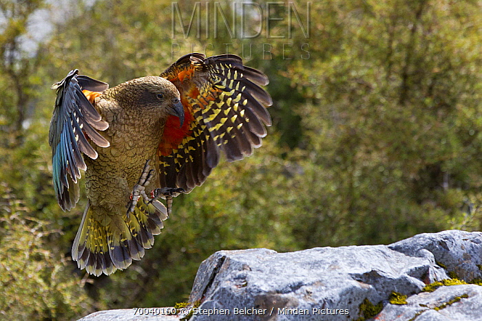 Kea (Nestor notabilis) landing, Arthur's Pass National Park, South Island, New Zealand  -  Stephen Belcher