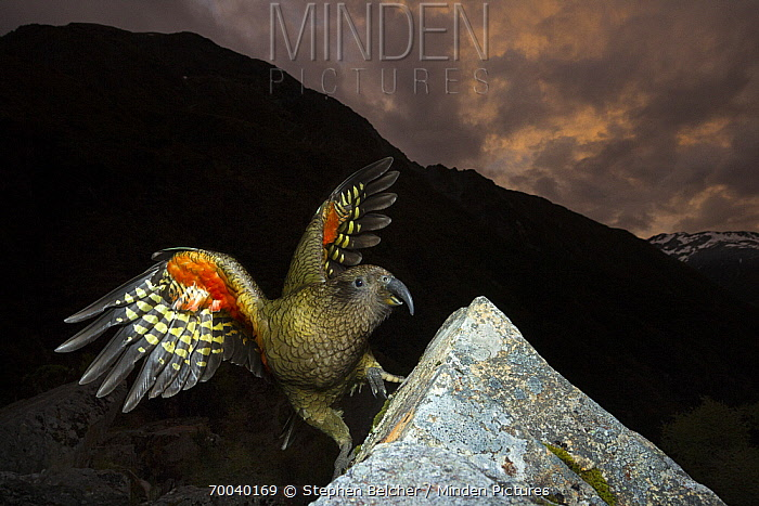 Kea (Nestor notabilis), Arthur's Pass National Park, South Island, New Zealand  -  Stephen Belcher