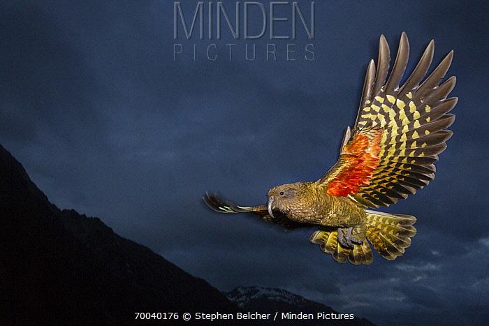 Kea (Nestor notabilis) flying, Arthur's Pass National Park, South Island, New Zealand  -  Stephen Belcher