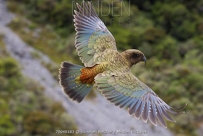 Kea (Nestor notabilis) flying, Arthur's Pass National Park, South Island, New Zealand  -  Stephen Belcher