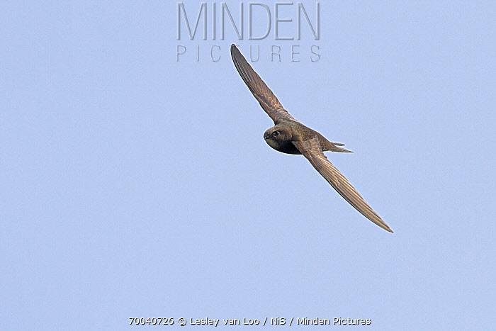 Common Swift (Apus apus) flying, Utrecht, Netherlands  -  Lesley van Loo/ NiS