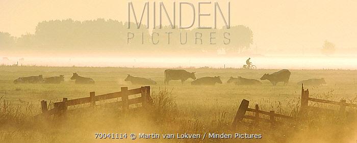 Domestic Cattle (Bos taurus) in field at dawn with a cyclist in background, Alblasserwaard, Groot-Ammers, Alblasserwaard, Netherlands  -  Martin van Lokven