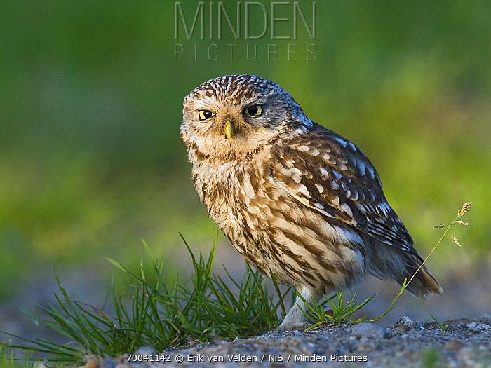 Little Owl (Athene noctua), Zuid-Holland, Netherlands  -  Erik van Velden/ NiS
