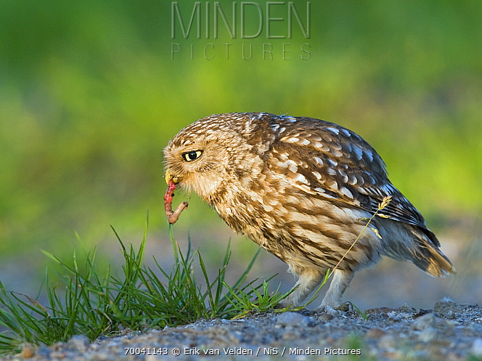 Little Owl (Athene noctua) eating a worm, Zuid-Holland, Netherlands  -  Erik van Velden/ NiS