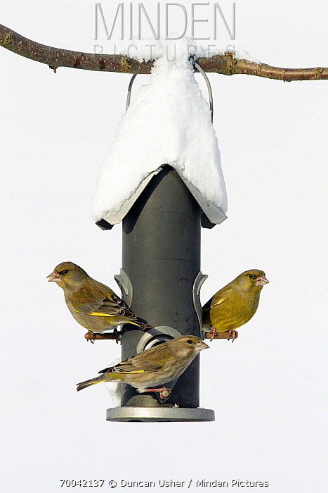 European Greenfinch (Chloris chloris) trio at bird feeder, Bursfelde, Lower Saxony, Germany  -  Duncan Usher