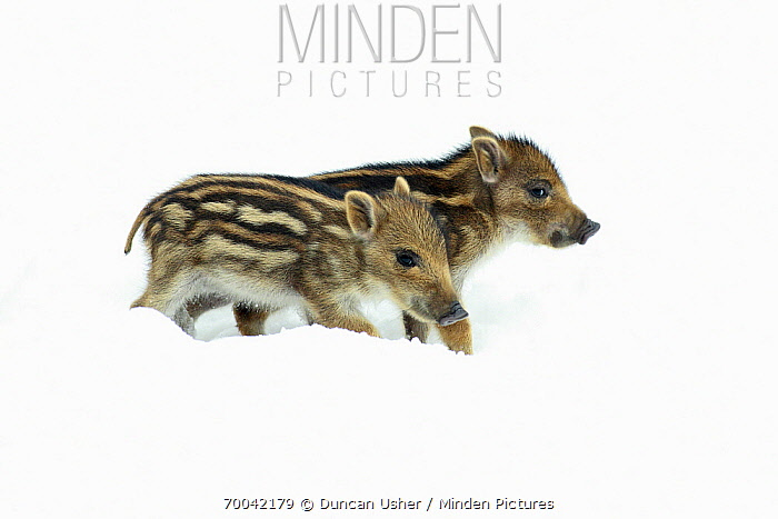 Wild Boar (Sus scrofa) piglets in snow, Sababurg, Hessen, Germany  -  Duncan Usher