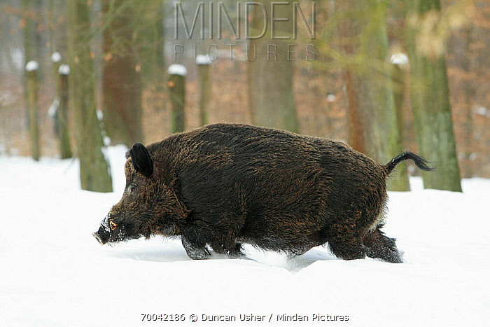Wild Boar (Sus scrofa) walking in snow, Sababurg, Hessen, Germany  -  Duncan Usher