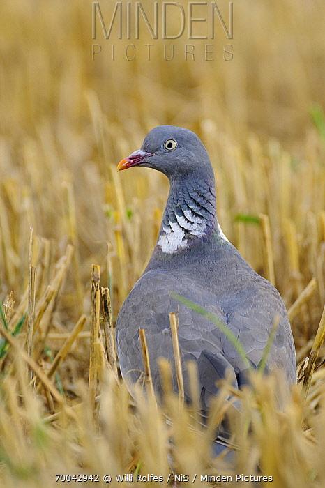 Common Wood-pigeon (Columba palumbus) in stubble field, Vechta, Germany  -  Willi Rolfes/ NIS