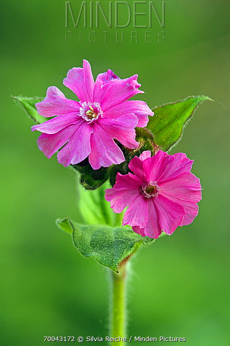 Red Campion (Silene dioica) close-up of flowers, Hoogeloon, Noord-Brabant, Netherlands  -  Silvia Reiche