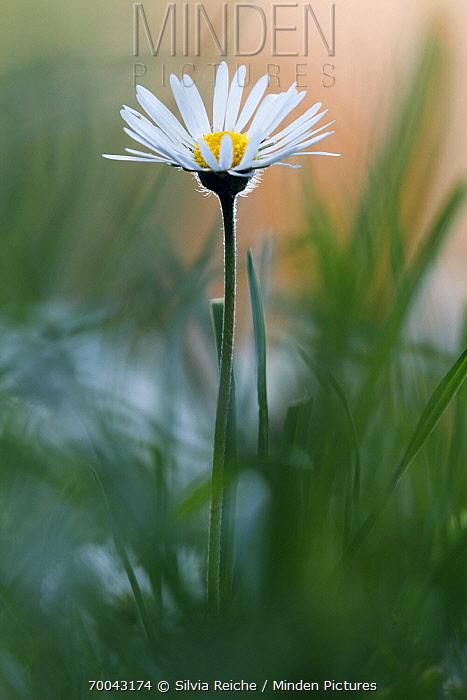 Common Daisy (Bellis perennis) flower, Harz, Germany  -  Silvia Reiche