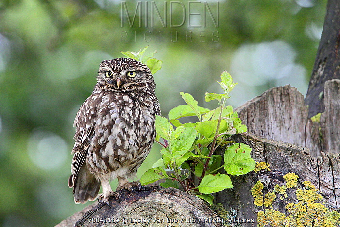 Little Owl (Athene noctua), Gelderland, Netherlands  -  Lesley van Loo/ NiS