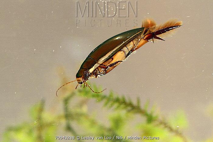 Diving Beetle (Cybister lateralimarginalis) swimming, Utrecht, Netherlands  -  Lesley van Loo/ NiS