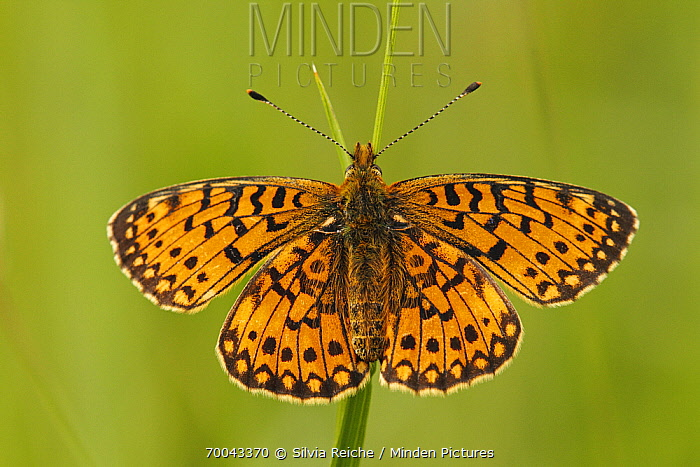 Small Pearl-bordered Fritillary (Boloria selene) butterfly on grass, Eifel, Germany  -  Silvia Reiche