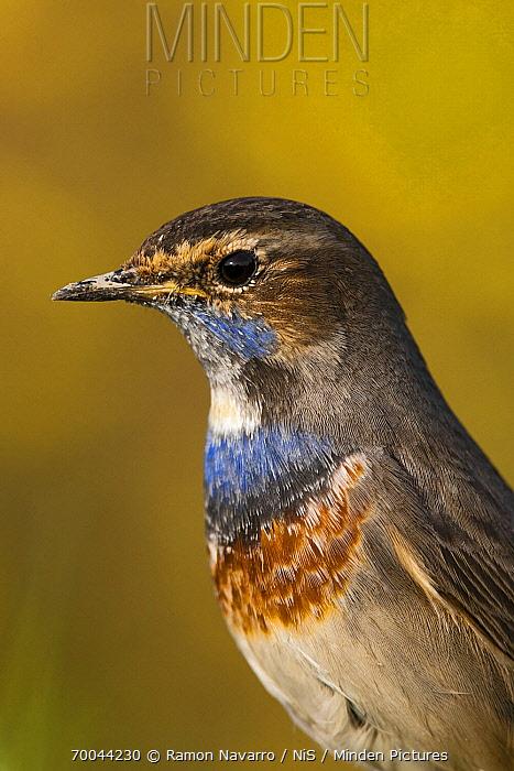 Bluethroat (Luscinia svecica), Donana National Park, Seville, Spain  -  Ramon Navarro/ NiS
