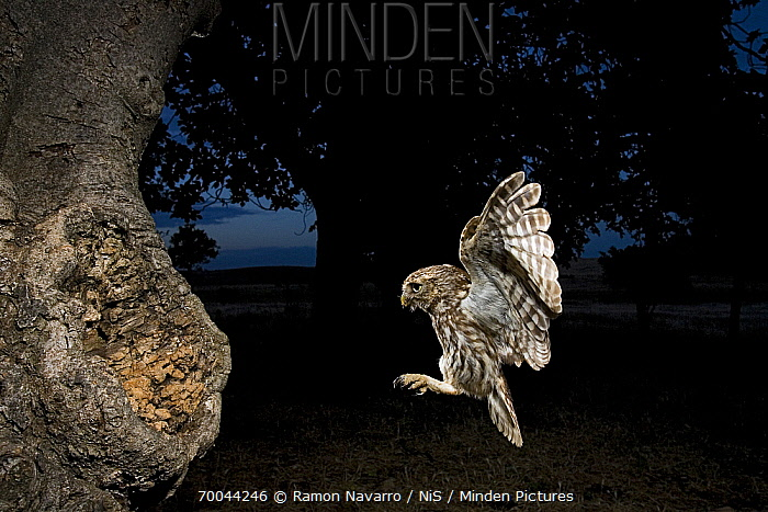 Little Owl (Athene noctua) flying to nest with food, Seville, Spain  -  Ramon Navarro/ NiS
