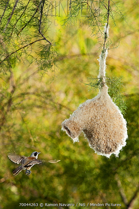 Eurasian Penduline-Tit (Remiz pendulinus) flying towards nest, Seville, Spain  -  Ramon Navarro/ NiS