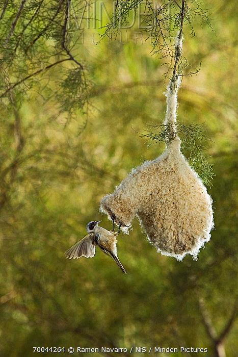 Eurasian Penduline-Tit (Remiz pendulinus) at nest entrance, Seville, Spain  -  Ramon Navarro/ NiS
