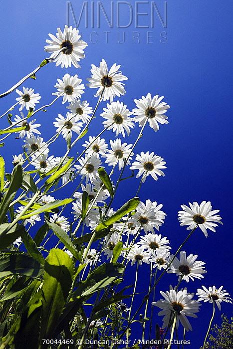Marguerite (Leucanthemum vulgare) flowers, Bursfelde, Lower Saxony, Germany  -  Duncan Usher