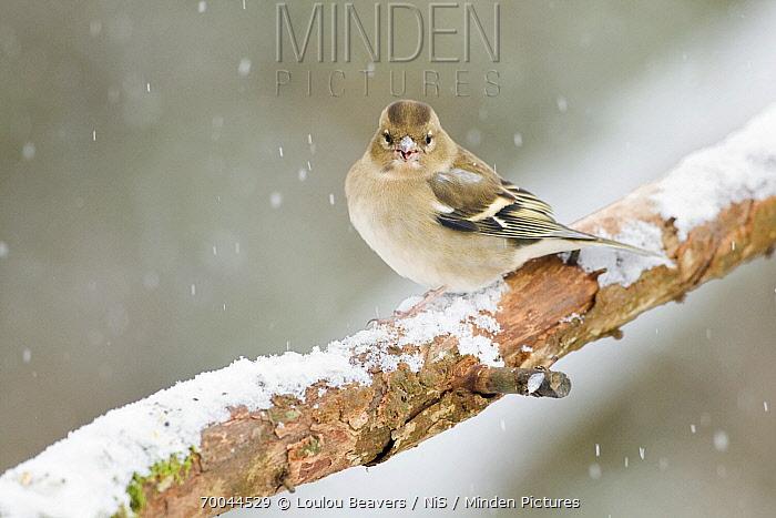 Chaffinch (Fringilla coelebs) female on snowy branch, Arkemheen, Gelderland, Netherlands  -  Loulou Beavers/ NiS
