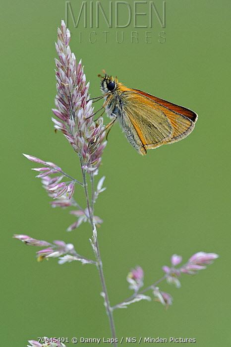 Small Skipper (Thymelicus sylvestris) butterfly, La Brenne Regional Nature Park, Indre, France  -  Danny Laps/ NiS