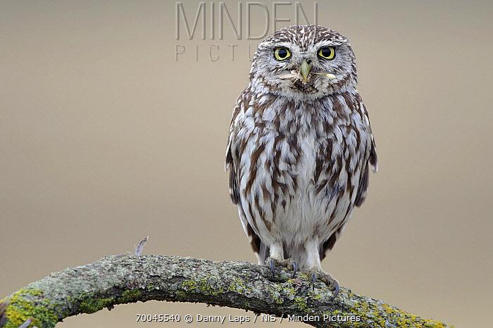 Little Owl (Athene noctua) with grasshopper prey, Campine, Antwerp, Flanders, Belgium  -  Danny Laps/ NiS