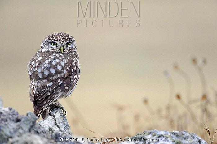 Little Owl (Athene noctua), Campine, Antwerp, Flanders, Belgium  -  Danny Laps/ NiS