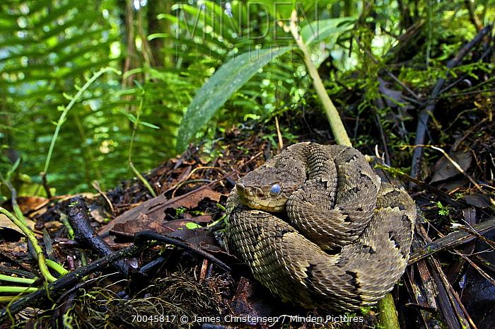 Osborne's Lancehead (Bothrops osbornei) juvenile, Andes, Mindo, Pichincha Province, Ecuador, South America  -  James Christensen