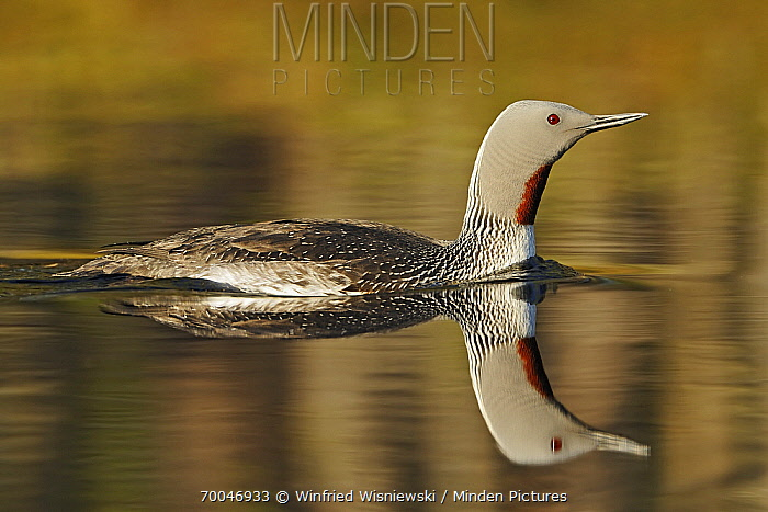 Red-throated Loon (Gavia stellata) in breeding plumage, Hellefors, Sweden  -  Winfried Wisniewski